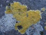 Image of Caloplaca flavocitrina