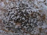 Lecanora gangaleoides image