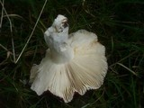 Russula atropurpurea image
