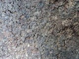 Ganoderma australe image