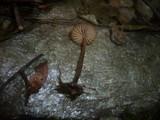 Marasmius torquescens image