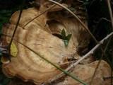 Meripilus giganteus image