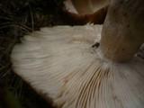 Russula illota image