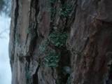 Hypogymnia physodes image