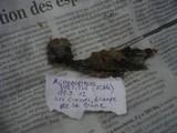 Helicogloea vestita image