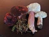 Russula torulosa image