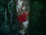 Cytidia salicina image