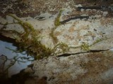 Peniophorella guttulifera image