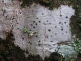 Image of Pyrenula laevigata