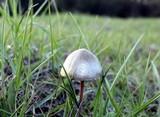 Panaeolus goossensiae image