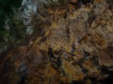 Tomentella bryophila image