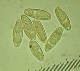 Chroogomphus ochraceus image