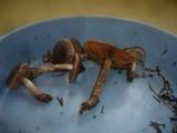 Cortinarius depressus image