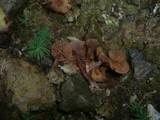 Naucoria alnetorum image