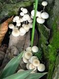 Filoboletus manipularis image