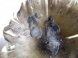 Amanita ceciliae image