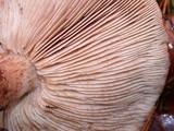 Tricholoma fracticum image