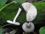 Pluteus salicinus image