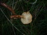 Tricholoma psammopus image