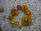 Suillus collinitus image