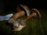 Cortinarius argutus image