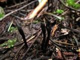 Geoglossum umbratile image