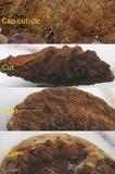 Inonotus cuticularis image
