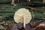 Lichenomphalia umbellifera image