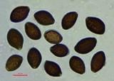 Panaeolus olivaceus image