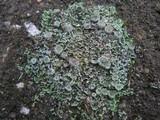 Cladonia pocillum image