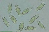Asterophora parasitica image