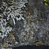 Lecanora chlarotera image