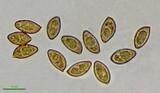 Cortinarius lilacinocolossus image