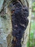Image of Exidia plana
