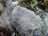 Fuscidea cyathoides image