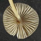 Mycena parabolica image