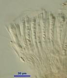 Sarcoleotia turficola image