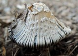 Coprinellus flocculosus image