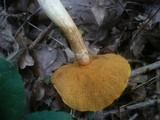 Suillus tridentinus image