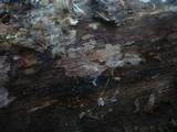 Amylostereum chailletii image