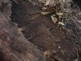 Coniophora olivacea image