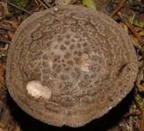 Amanita karea image