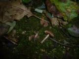 Cortinarius alnetorum image