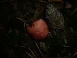 Gomphidius roseus image