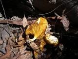 Austropaxillus infundibuliformis image