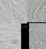 Pholiotina utricystidiata image