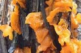 Gymnosporangium effusum image