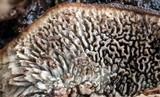 Datronia mollis image