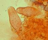 Inocybe praecox image