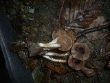 Cortinarius decipiens image